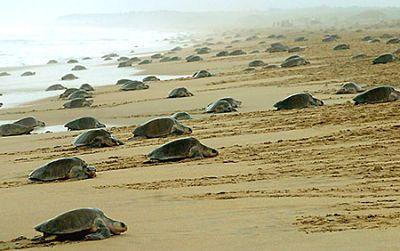 Velas-turtle-beach-maharashtra