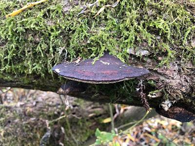 Daedaleopsis confragosa auf Weide Mallertshofen