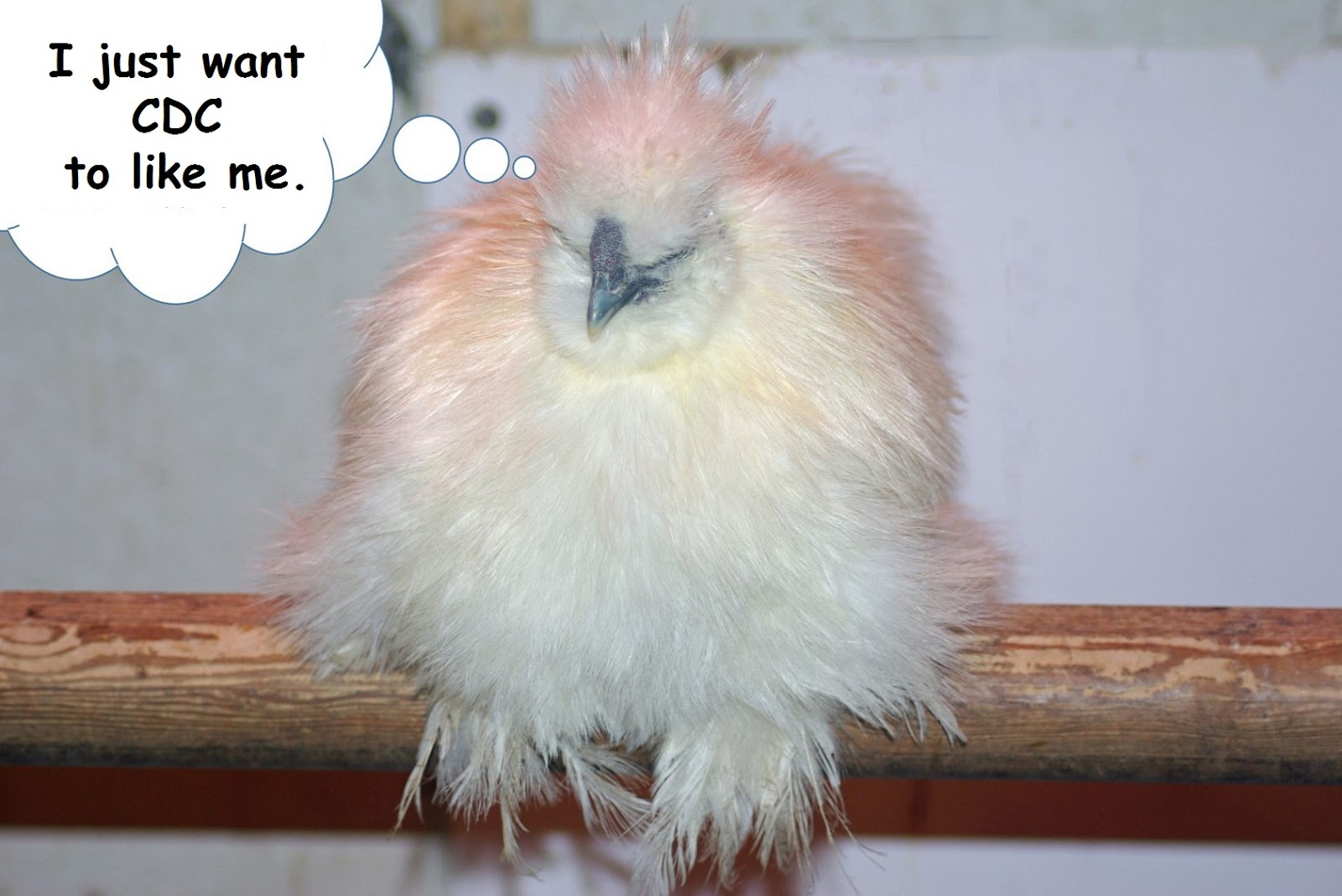 Backyard Chicken Blog randy's chicken blog: chicken kissing mentioned here!!!