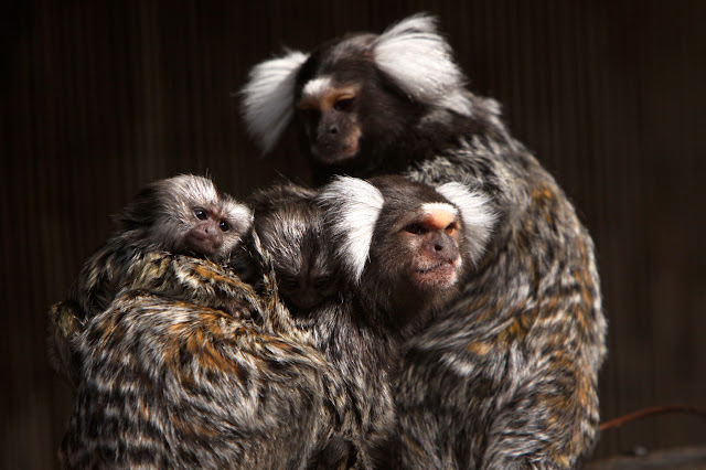 Marmoset monkeys learn to call the same way human infants learn to babble