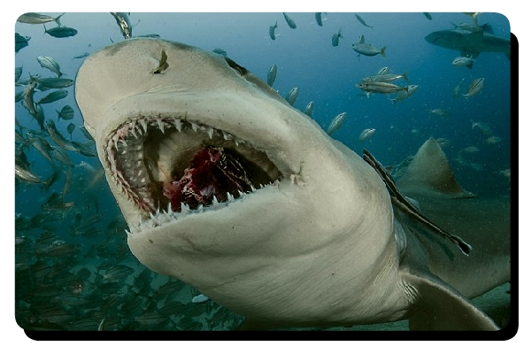 Lemon shark eating