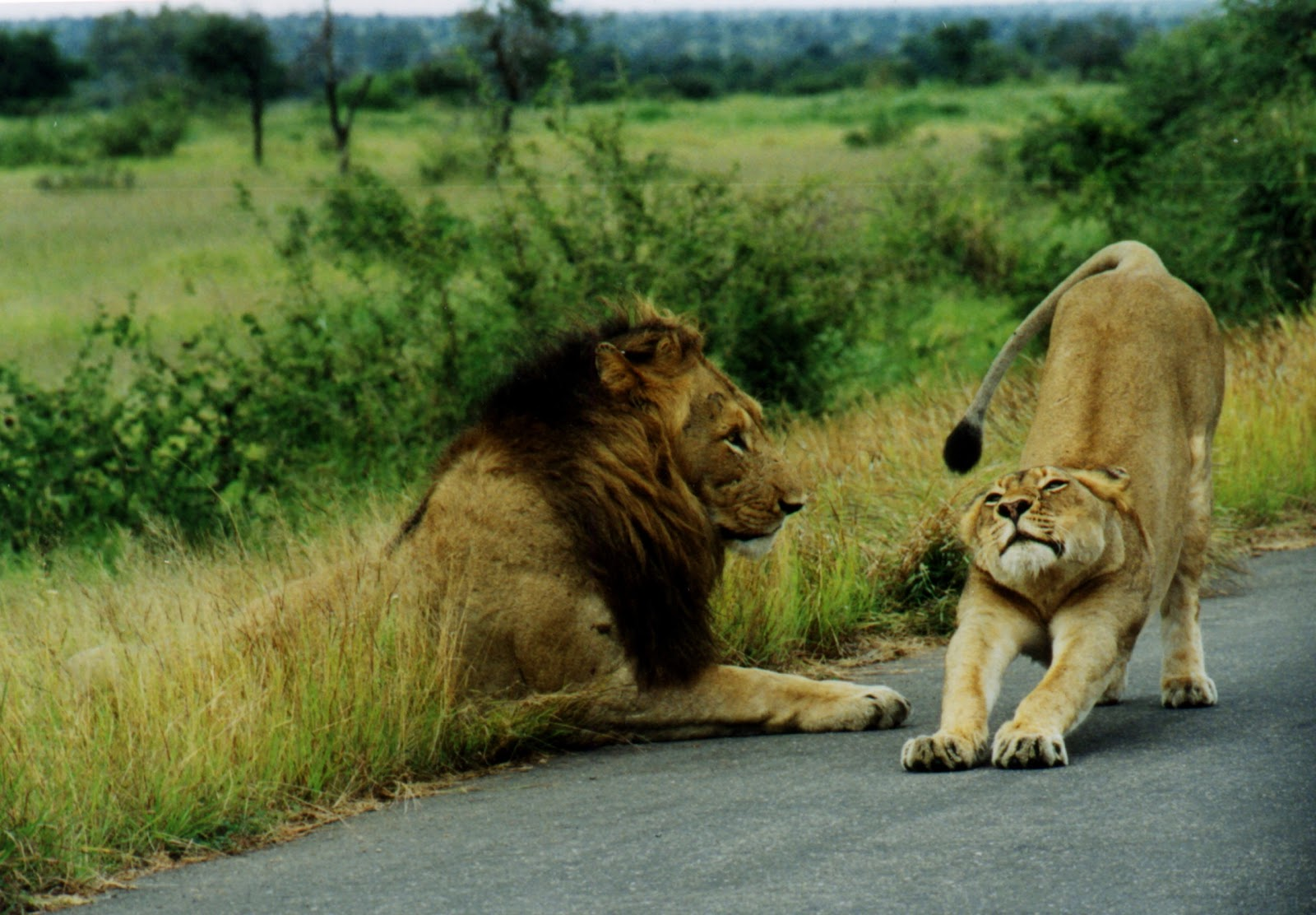 Beautiful Animals Safaris: Fun facts about baby lion cubs ...