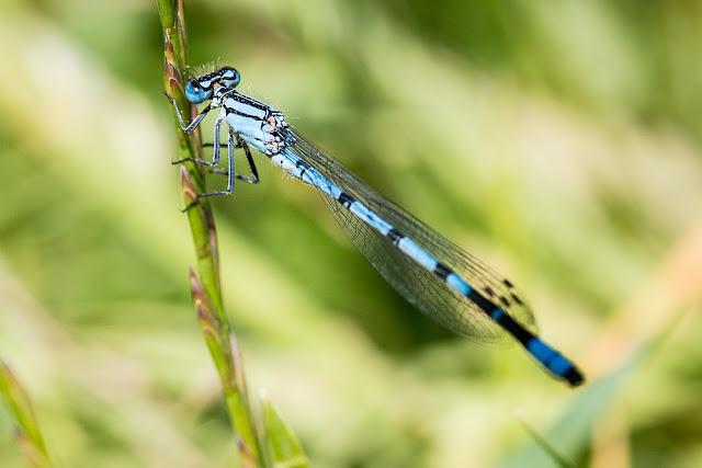 June Jaunt - Common Blue Damselfly