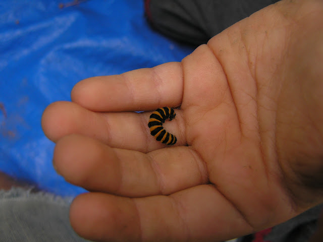 orange and black caterpillar