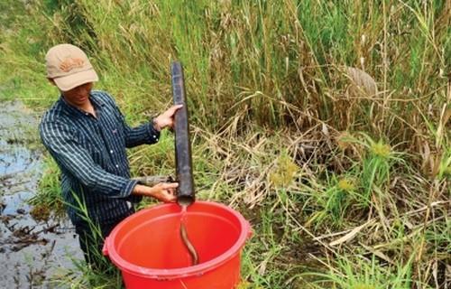 Cảnh bắt Lươn của người dân U Minh Hạ