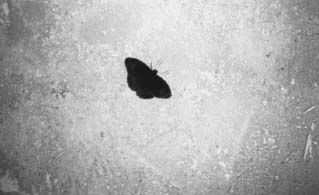 Moth Photo, b/w still from WG Sebald's Austerlitz