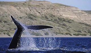 Whale Watching Valdes Peninsula - Puerto Pirámides y Puerto Madryn