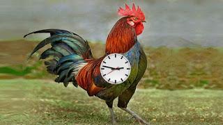 Scoperto perché il gallo canta sempre alla stessa ora