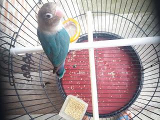 harga lovebird cobalt ficheri