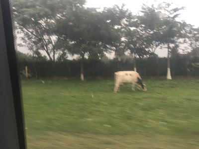 De Santa Cruz de la Sierra a Samaipata. Vaca pastando.