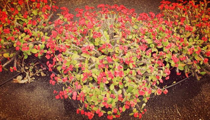 Planta corona de cristo