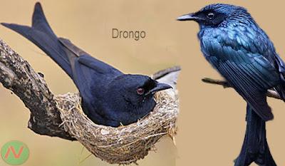 drongo bird, ফিঙে