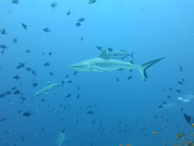 Photo of white tip sharks and grey reef sharks at Madivaru Corner on the Maldives