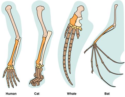 Lengan evolusi Anatomi Perbandingan