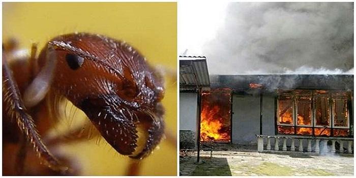 Semut listrik