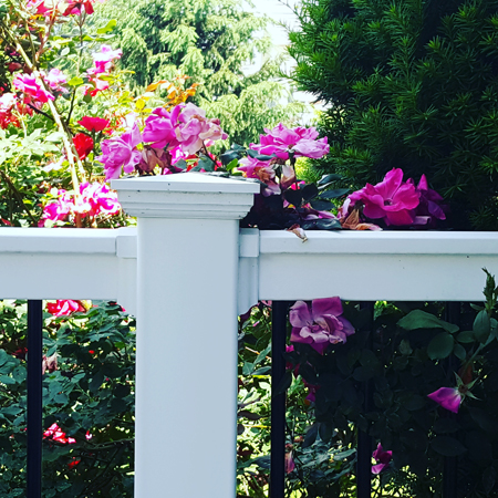 image of some pink flowers growing off my deck