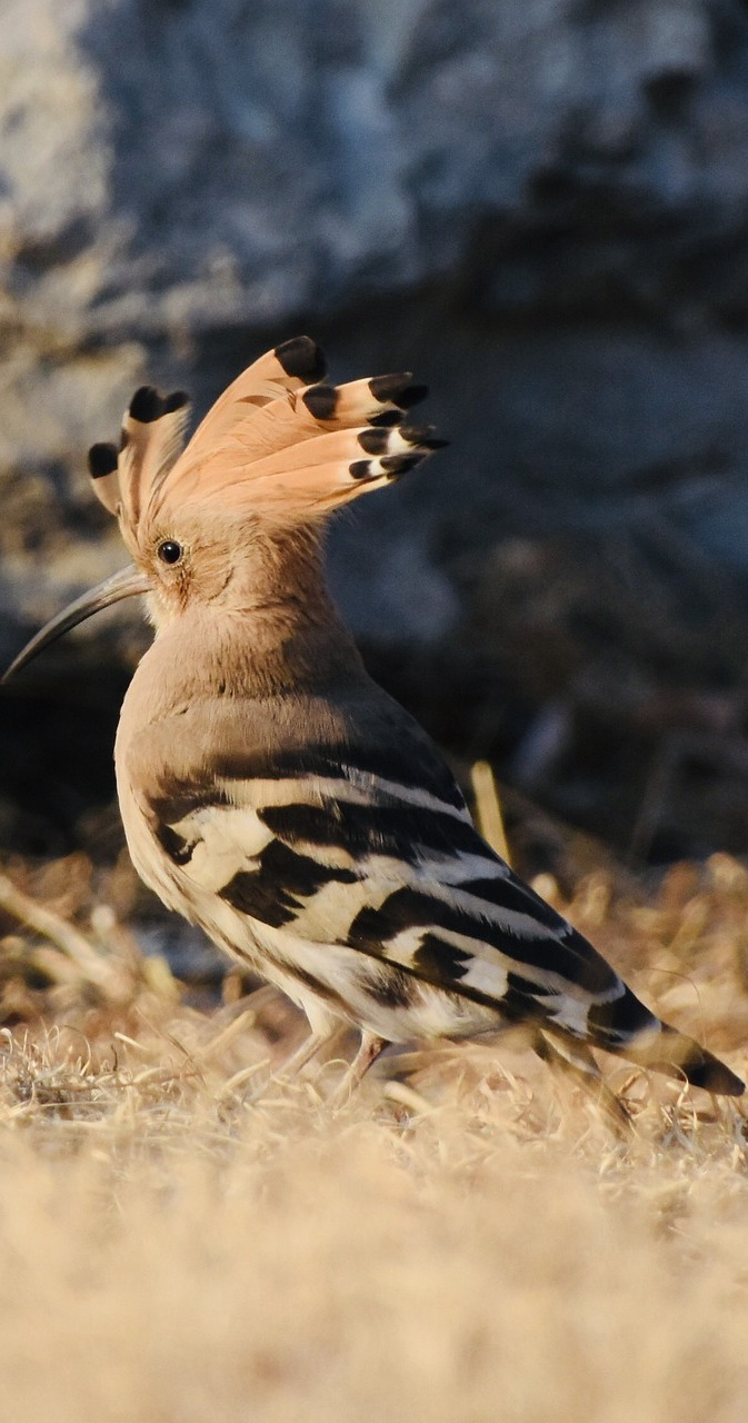 Photo of a hoopoe bird.