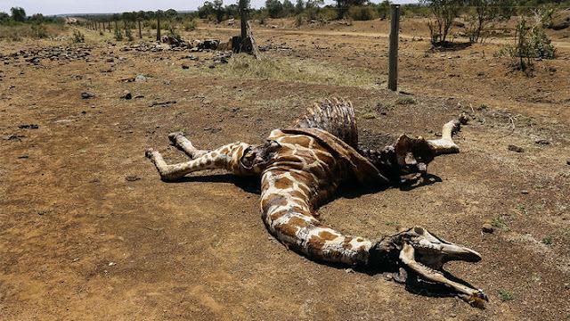 """Assassinatos selvagens está acabando com girafas - """"Nos últimos 30 anos, as populações de duas variedades de girafas da África Oriental, as girafas Nubian e reticuladas, caíram em 97 e 78 por cento."""""""
