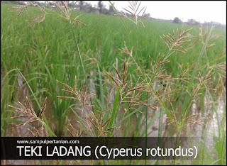 Teki ladang (cyperus rotundus) GULMA tanaman padi