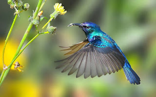 Beija-flor Mata Atlântica