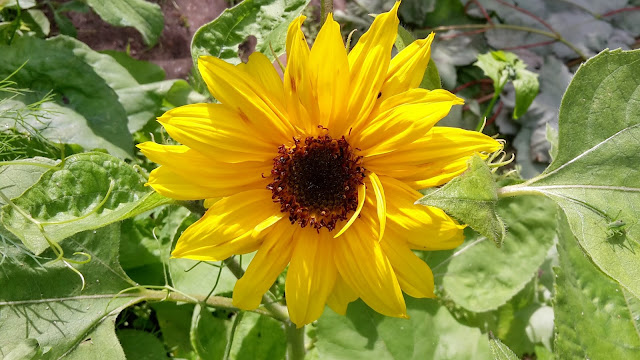 Project 366 2016 - day 179 First sunflower // 76sunflowers
