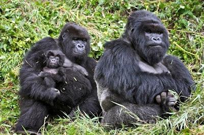 fotografia del reino animal familia de gorilas