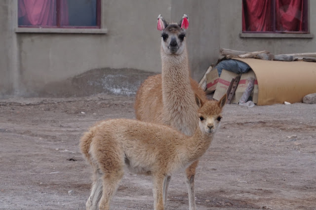 Red Planet Tour Uyuni Bolivia salt flats salar de uyuni atulcha lamma alpaca vicuna