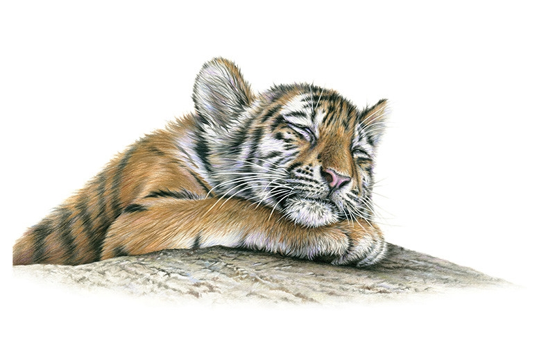 05-Tiger-Cub-Colored-Richard-Symonds-Wildlife-Fine-Art-Drawings-a-Painting-and-a-Video-www-designstack-co
