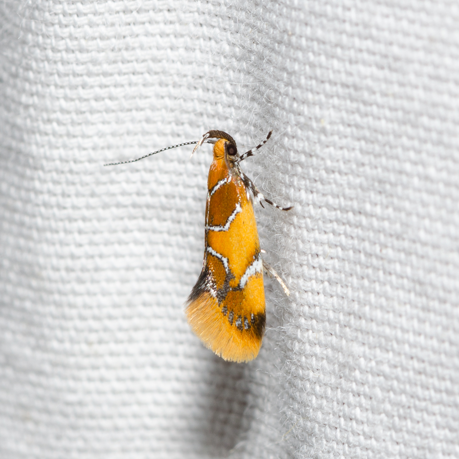 Orange-Headed Epicallima (Epicallima argenticinctella) Ohio
