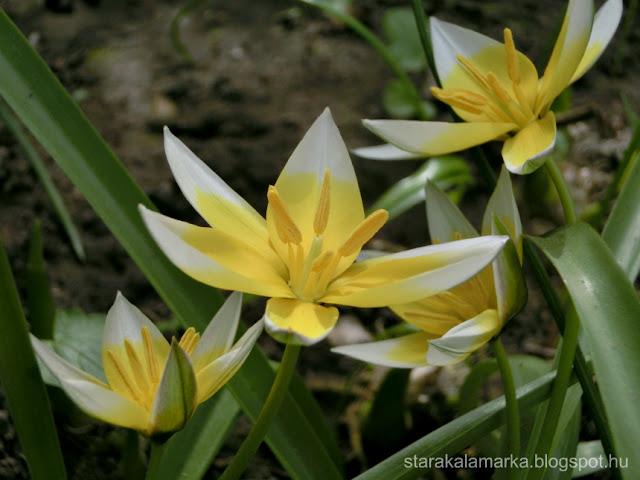 тюльпаны, сад, цветник в саду, starakalamarka, дом в венгрии