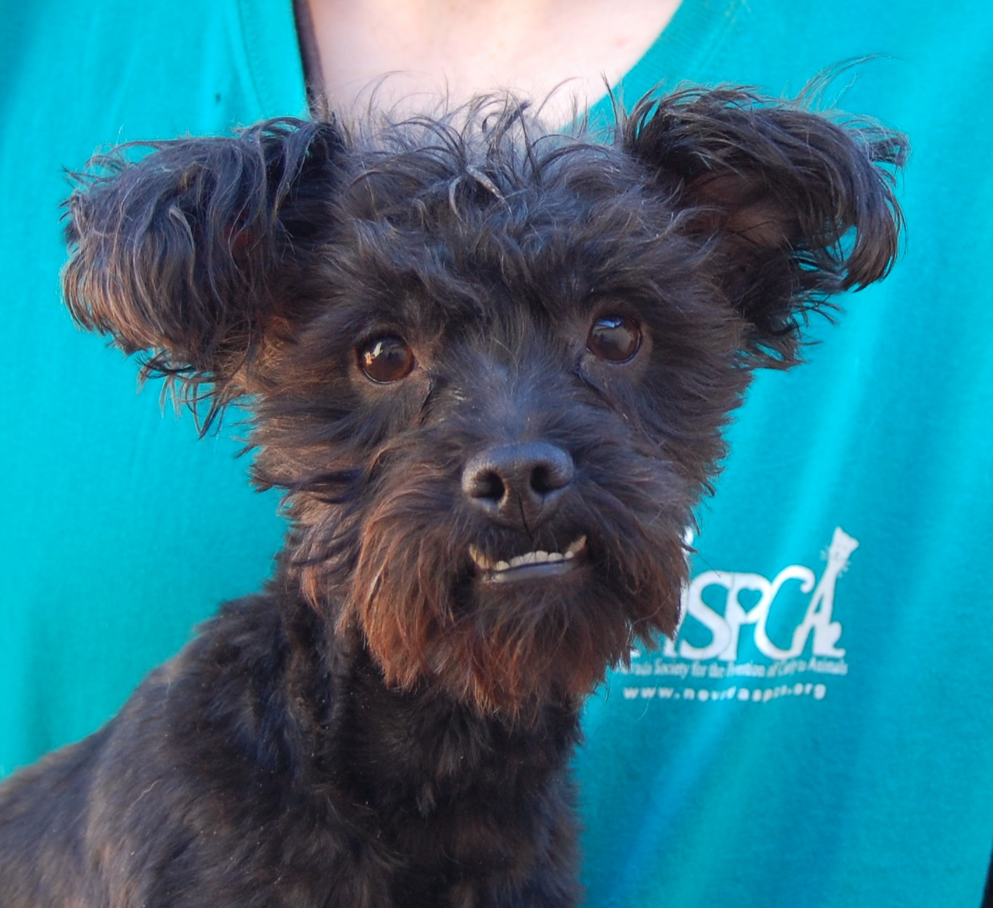 yorkie poo for adoption myles 4154