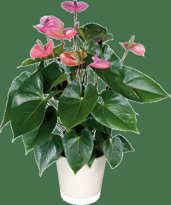 cactus y suculentas planta ornamental