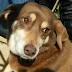 Κανελλίτσα, μία ζουμερή σκυλίτσα προς αναζήτηση οικογένειας...
