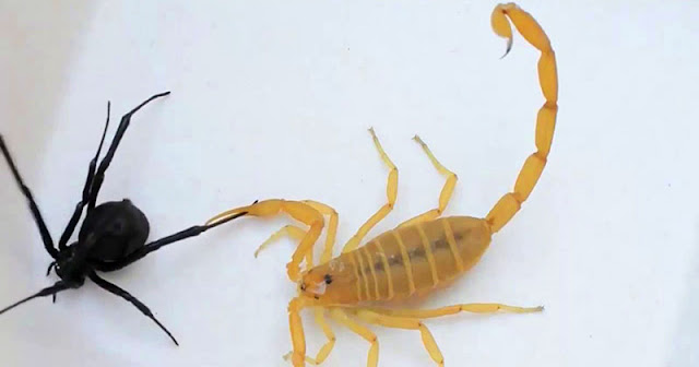 Viuda negra vs un escorpión