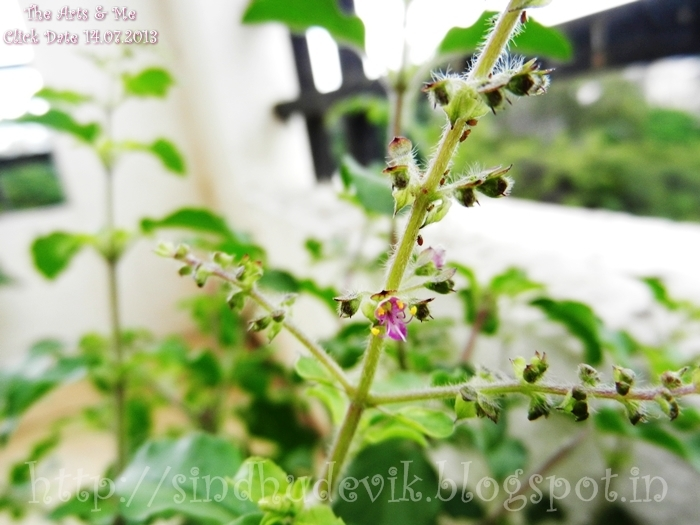 Raam TuLasi - Hoo Bittaga (The Holy Basil - Blooms)
