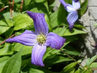 Clématite campanulée - Clématite du Portugal - Clematis campaniflora