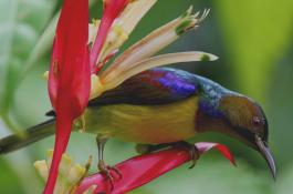 Jenis burung klolibri wulung sering di sebut juga dengan sebutan kolibri muncang  Cara Perawatan Burung Kolibri Wulung