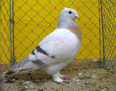 swiss pigeons - color type -racing owl