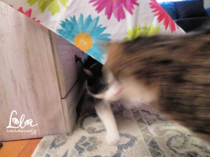 weruva cats in the kitchen goldie Lox