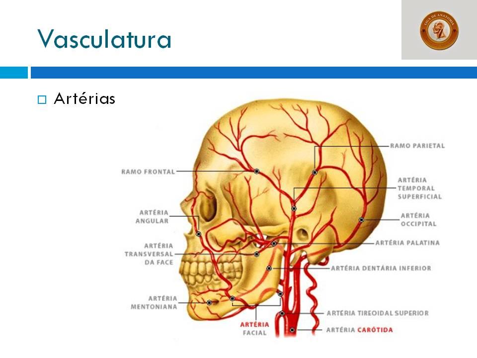 Magnífico Anatomía Arteria Temporal Molde - Anatomía de Las ...