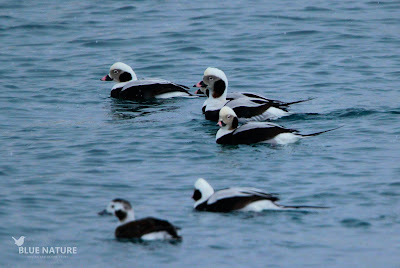 Pato havelda - Long-tailed duck - Clangula hyemalis. Cuatro machos y una hembra (en primer plano), todos ellos en plumaje de adulto e invernal. Los machos presentan esa característica cola larga y fina.