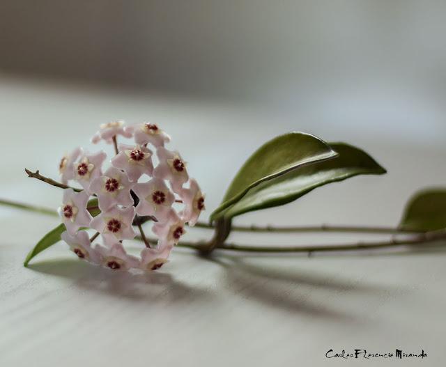Una rama de Clepia con su flor.