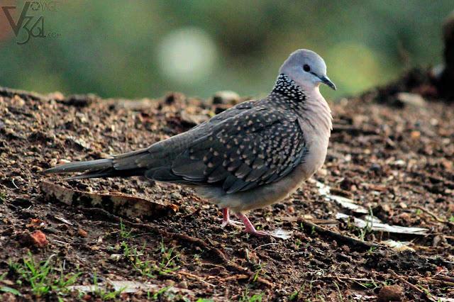 Spotted Dove - Masinagudi