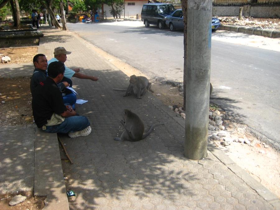 사원 주변의 원숭이들