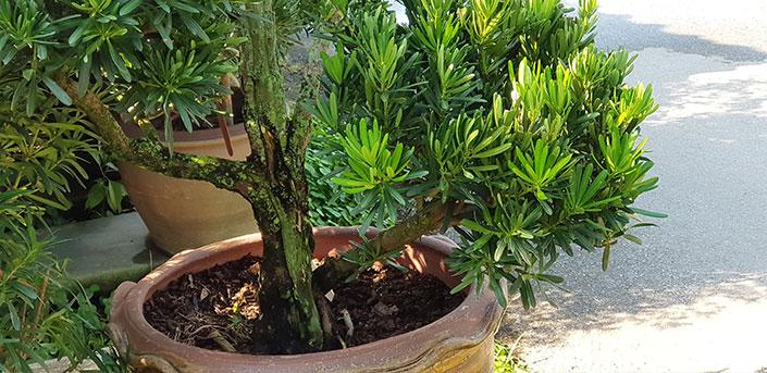 ต้นหลิวจักรพรรดิ์ในกระถาง