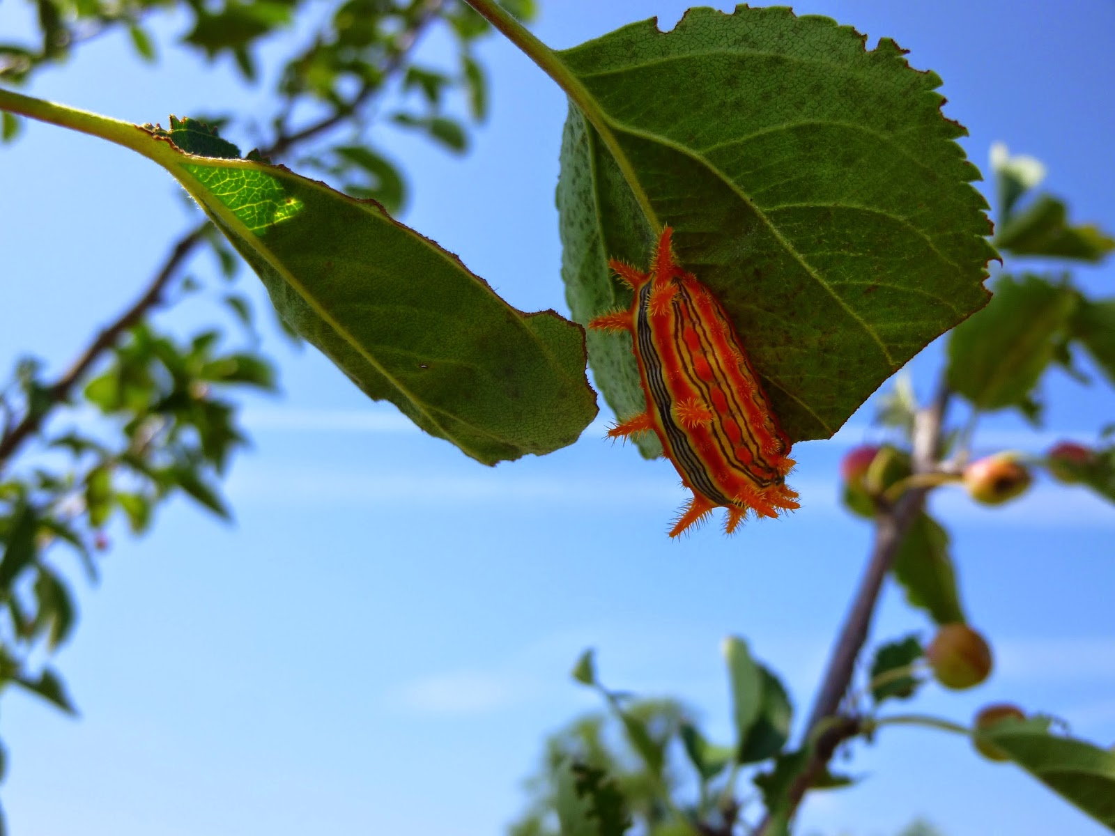 The attractive but toxic Stinging Rose (Parasa indetermina) caterpillar enjoying lunch in a crabapple tree