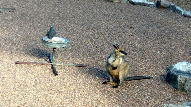 Wallaby and pigeon - the original odd couple.