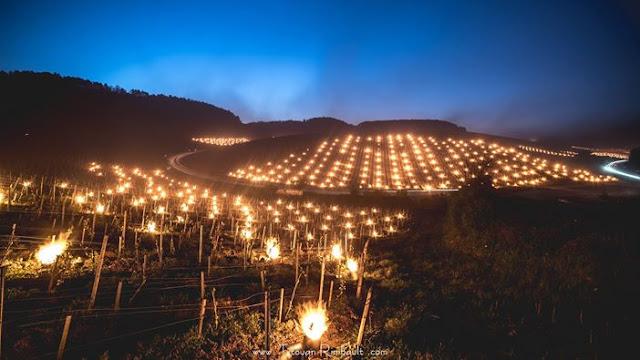 Виноградники во Франции спасают сотнями обогревателей