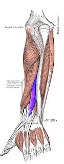 extensor pollicis longus muscle