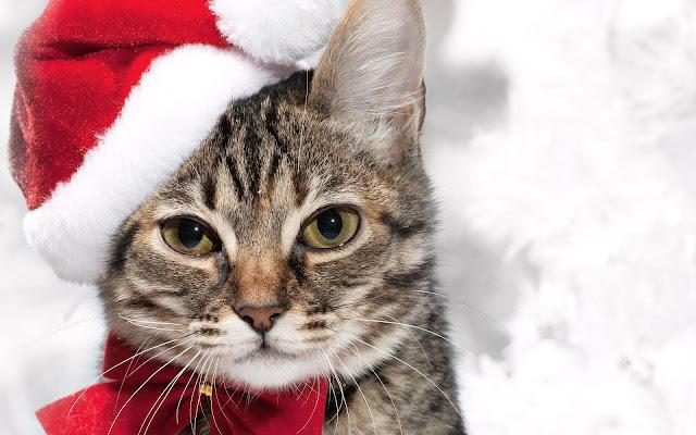 Foto kat met kerstmuts
